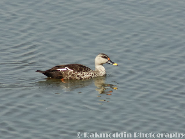 Spotbill duck at Katraj Lake