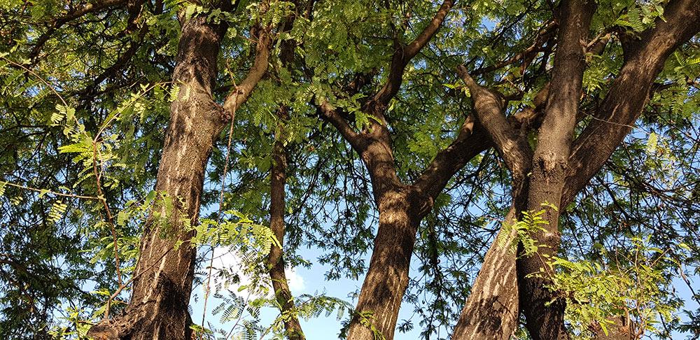 ลักษณะของต้นมะขาม