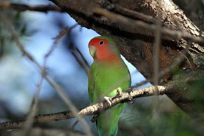 Vitamin dan Suplemen yang cocok untuk burung lovebird
