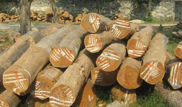 cara memilih kayu jati berkualitas