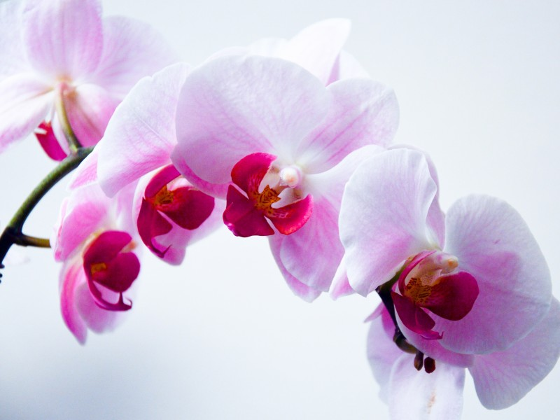Download Orchid Plant HD wallpaper. Click Visit page Button for More Images.