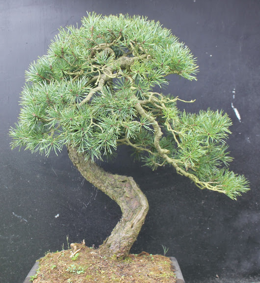 Update on a Pinus slylvestris. Rewire
