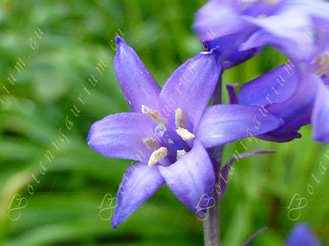 Hyacinthoides non-scripta, Asparagaceae - Botaniquarium.eu