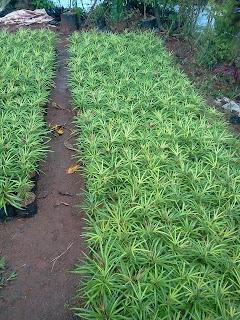 Jual tanaman perdu aralea murah untuk taman