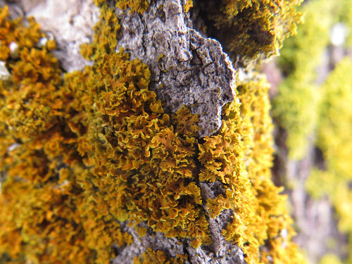 orange lichen on  maple bark