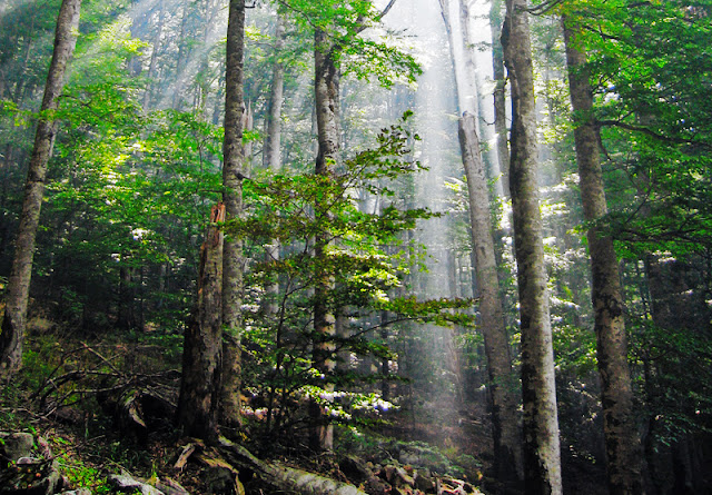 Research finds North Atlantic Oscillation synchronises tree reproduction across Europe