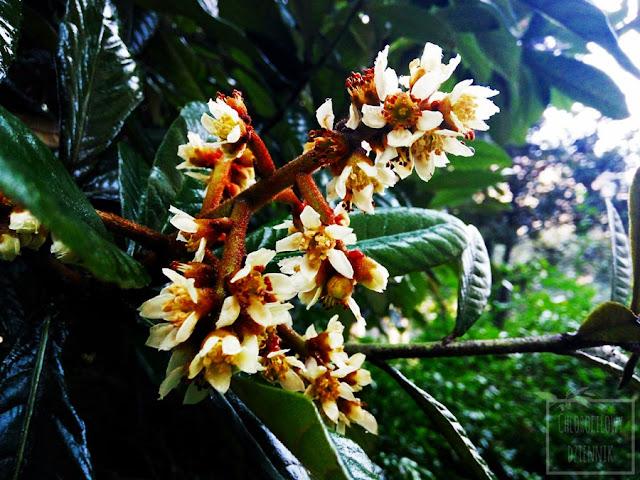 Nieśplik japoński (Eriobotrya japonica) - jak i kiedy kwitnie loquat, czyli kwitnienie nieśplika w Chinach.