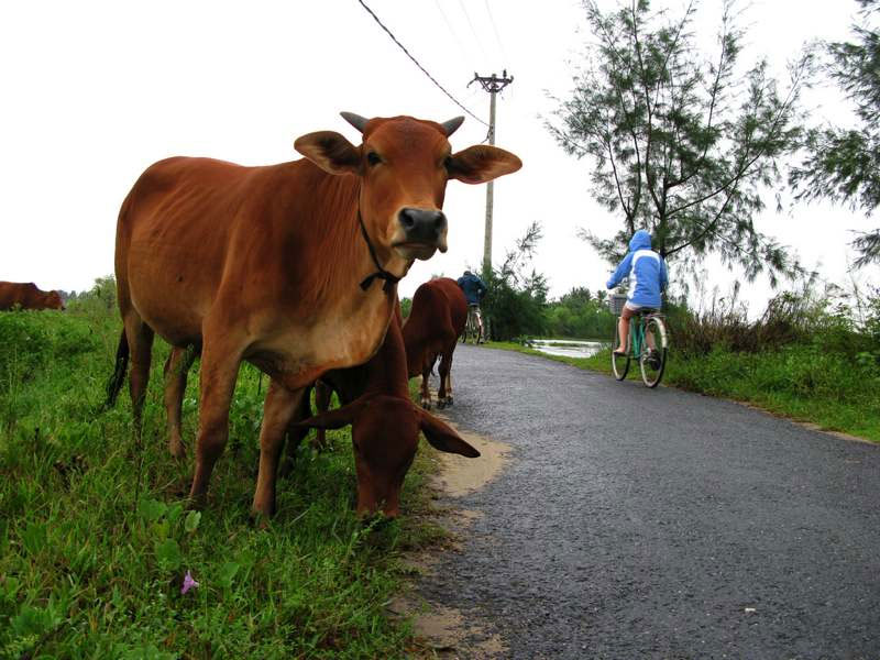 Vietnam Cow
