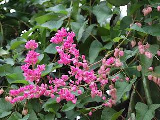 Jual tanaman rambat air mata pengantin (antigonon leptopus) | tanaman rambat berbunga