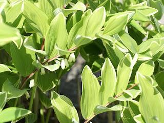 Sceau de Salomon panaché - Polygonatum multiflorum 'Striatum'
