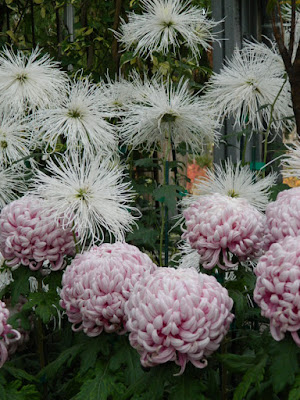 White spider and purple incurve mums at the Allan Gardens Conservatory 2015 Chrysanthemum Show by garden muses-not another Toronto gardening blog