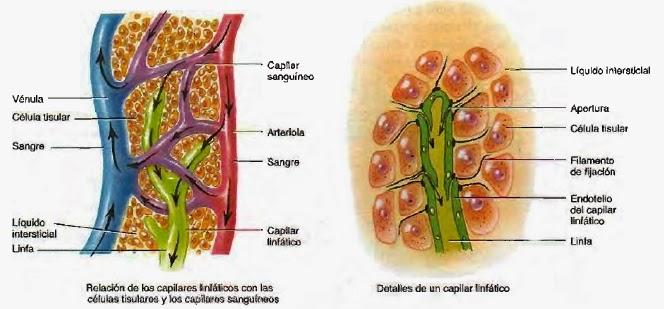 ubicación y función de capilares linfáticos