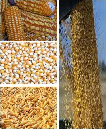 maize, corn, ship brokers, chartering brokers freight carriers, freighters