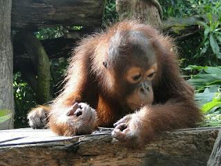 Orangutan Sumatera Hewan Langka Di Indonesia dan Penjelasannya