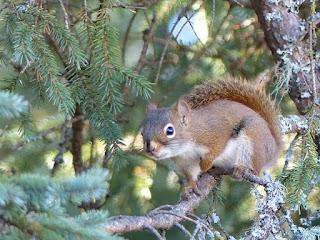 Écureuil roux d'Amérique (Tamiasciurus hudsonicus)