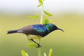 Burung variable sunbird atau juga dikenal dengan yellow-bellied sunbird (Cinnyris venustus) (sekarang Nectarinia venusta)