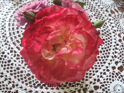 Variegated rose in full bloom