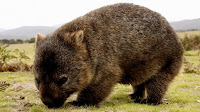 Wombat animal pictures_Vombatus ursinus