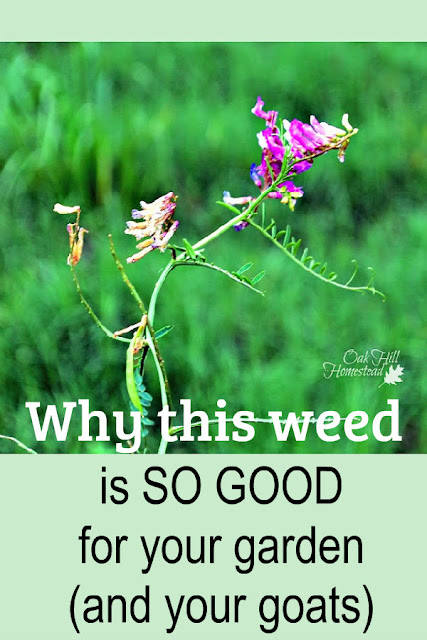 Hairy vetch: weed or feed?