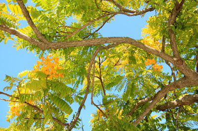 Gold medallion trees in Santa Monica, CA.