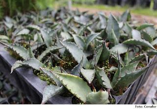 Aumenta producci n de maguey pulquero en estado de m xico for Viveros forestales conafor