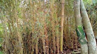 Jual Pohon Bambu Klisik | Bambu Hias
