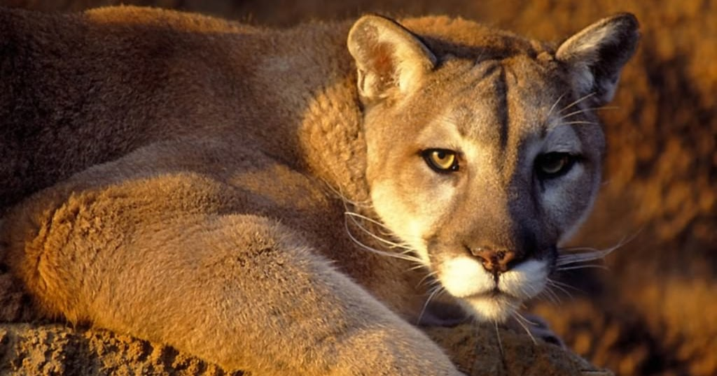 The Puma A Beautiful Wild Animal The Wildlife