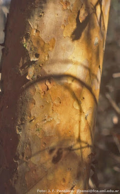 Guaviyú (Myrcianthes pungens)