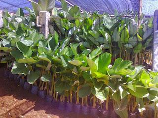 Jual tanaman pisang kalatea harga paling murah