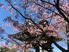 本覚寺のカワヅザクラ