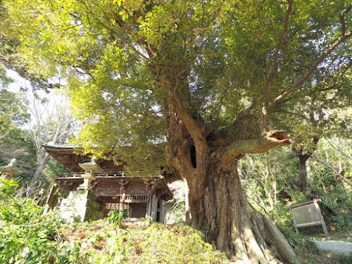 椎の木の巨木
