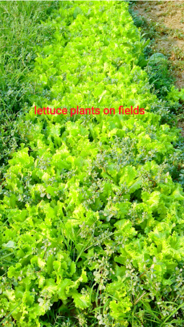 Small part of land with lettuce plant