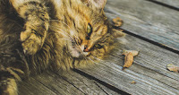 Alimentation du chat insuffisant rénal