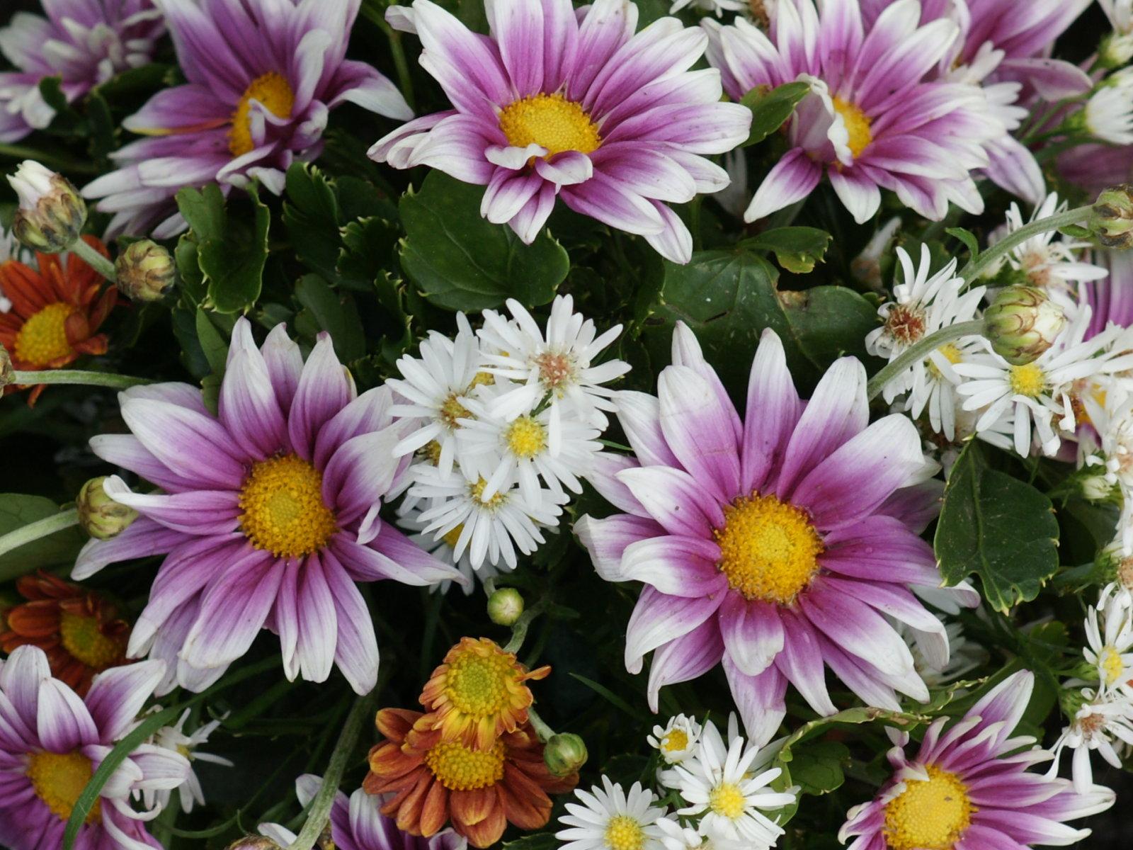 flowers for flower lovers.: Daisy flowers desktop wallpapers.