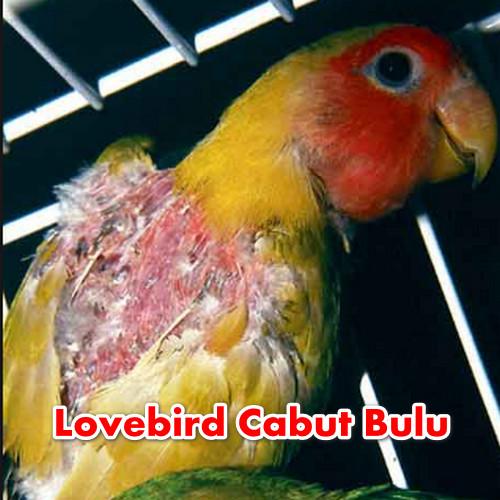 Lovebird Cabut Bulu