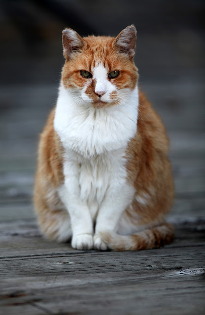 Even old and shy cats can learn tricks, like this old ginger-and-white cat sitting
