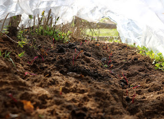 Lots of beetroots seedlings under plastic