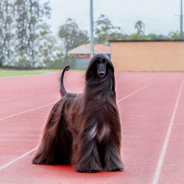 Um galgo afegão foi nomeado o cachorro mais bonito do mundo por seus dedicados fãs, que amam seus cabelos exuberantes