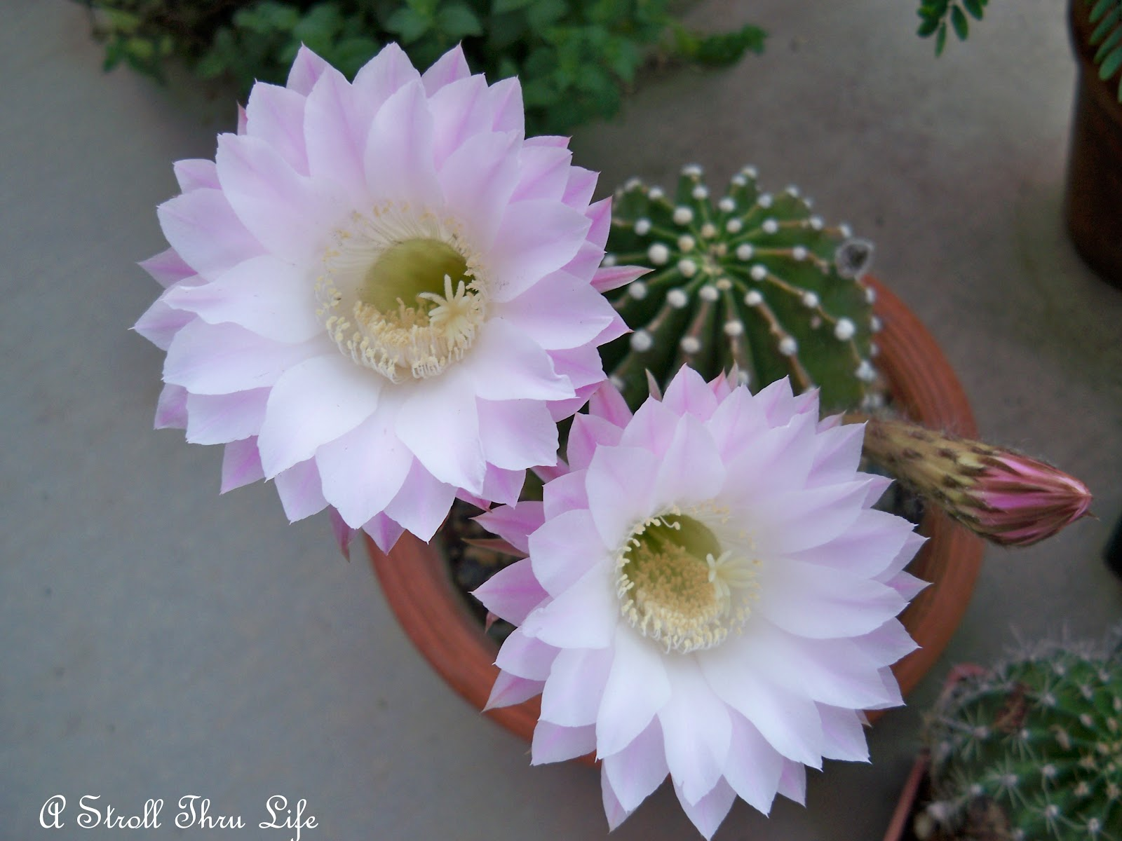 A Stroll Thru Life Cactus Flowers