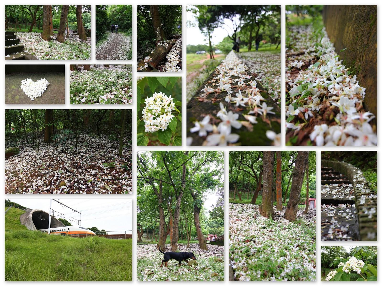 【新竹 湖口】金獅步道美麗的五月雪