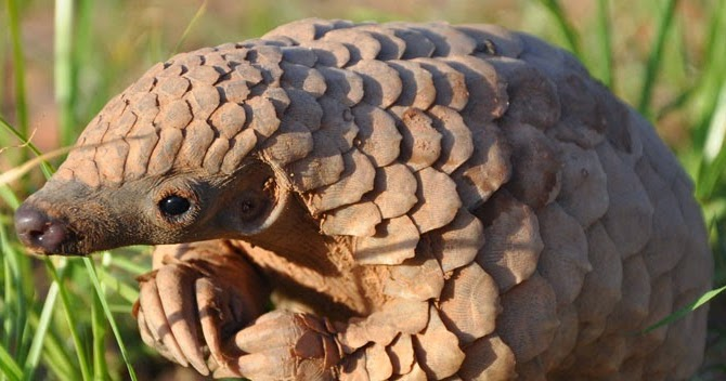 The Mad Catter The Pangolin