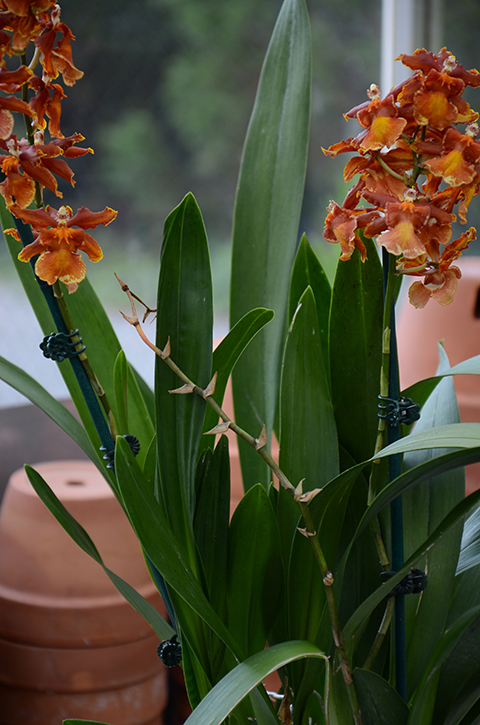 The Orchid Column Where Do I Cut My Oncidium After It Blooms