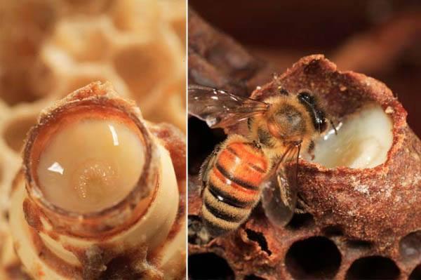 Μελισσοκομικός σεισμός: Αντλία κατάλληλη και για βασιλικό πολτό μόνο με 18.45 Ευρώ + ΦΠΑ