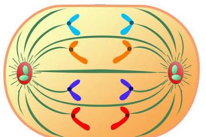 Pengertian Anafase Adalah - Kamus Biologi Online