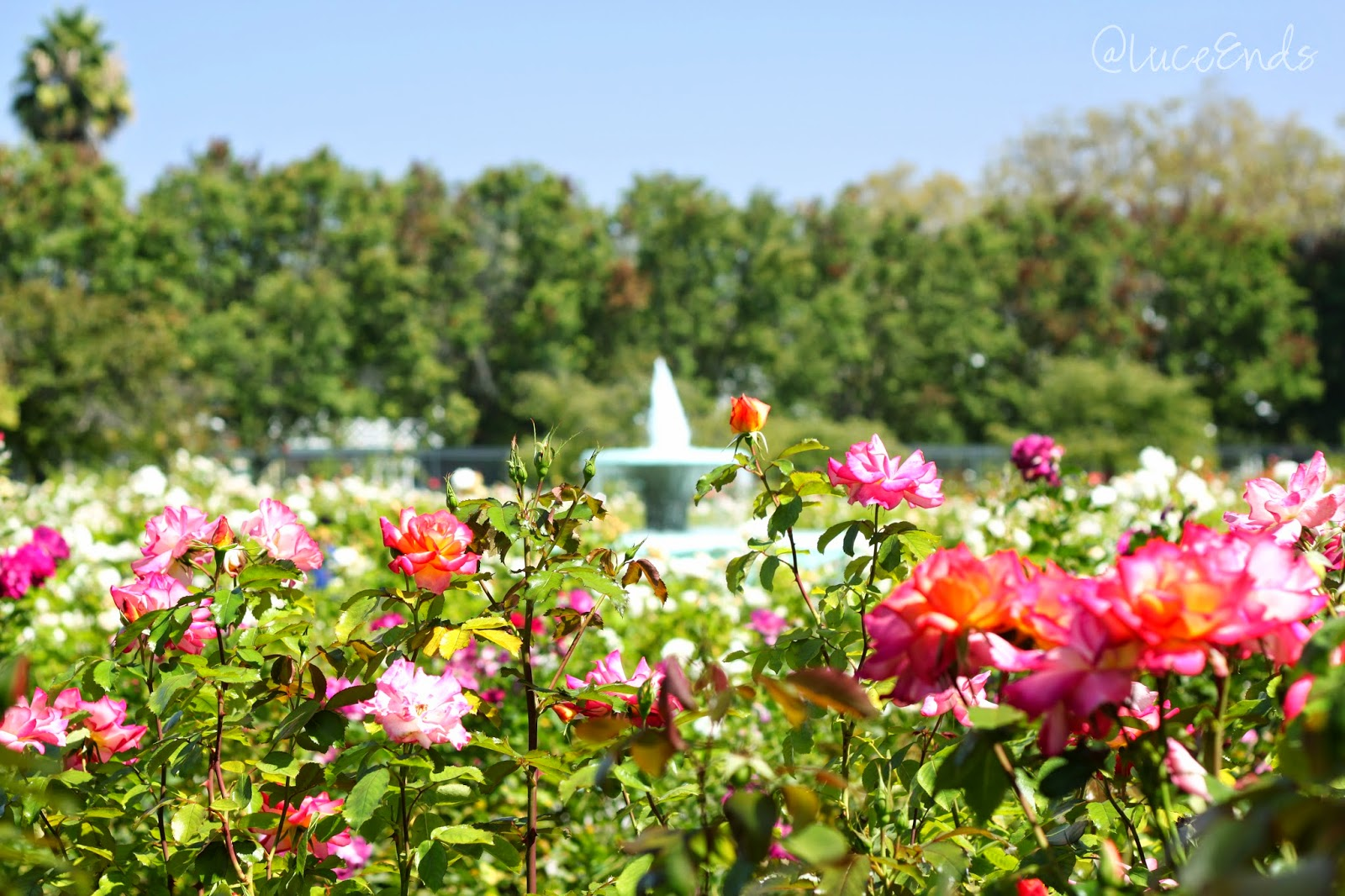 Roses In Garden: At Luce Ends: San Jose Municipal Rose Garden