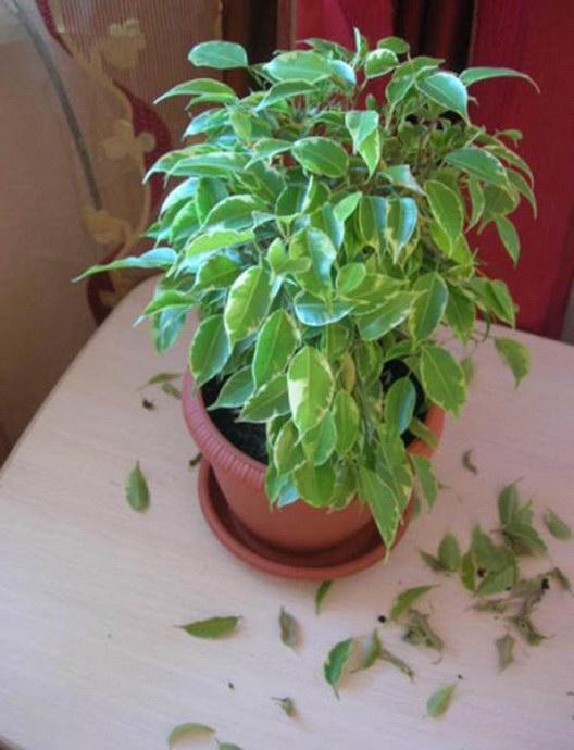 почему облетают листья у фикуса бенджамина