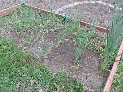 Garlic Bed that needs weeding -Vickie's Kitchen and Garden