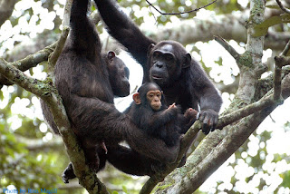 Rwanda primates, chimpanzees in Nyungwe national park, Primates in Rwanda
