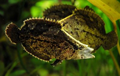 Ikan Daun Air Tawar predator