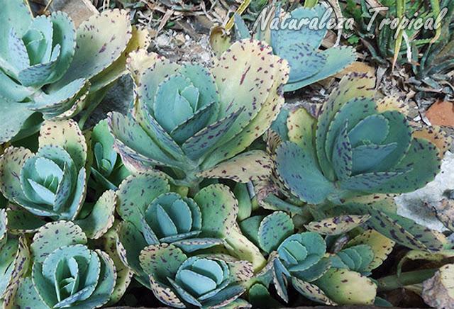 Kalanchoe marmorata es muy popular por sus propiedades medicinales